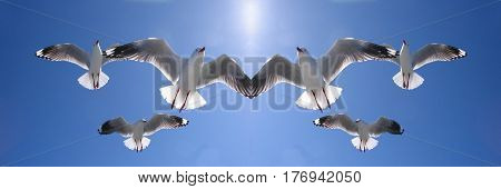 Mirrored image of six heavenly backlit seagulls ( AKA Silver Gulls) in full flight overhead in a vivid blue sky. Lake Macquarie New South Wales Australia