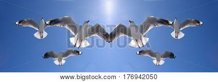 Mirrored image of six heavenly backlit seagulls ( AKA Silver Gulls) in full flight overhead in a vivid blue sky. Lake Macquarie New South Wales Australia