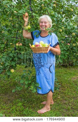 Mature cheerful woman in the garden with apples. August