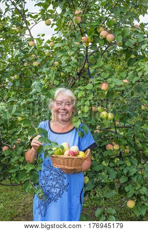 Mature laughing woman in the garden with apples. August