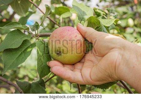 Ripe apple on a branch and arm of an elderly woman