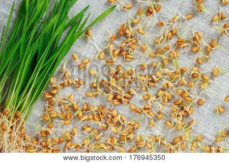 Germinated wheat sprouts scattered on the fabric