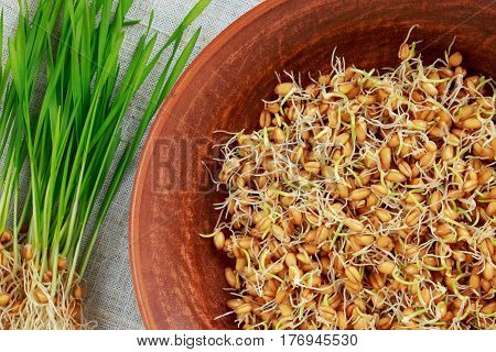 Germinated wheat germ on a clay dish