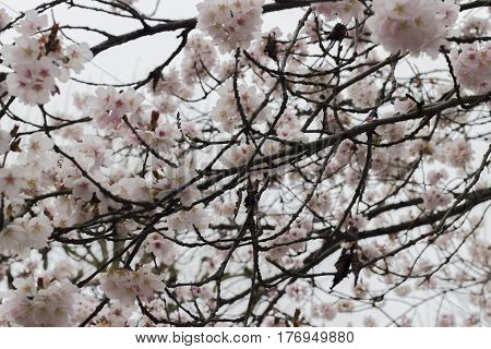 Pink flowers of a cherry tree blooming in springtime in the branches of trees.