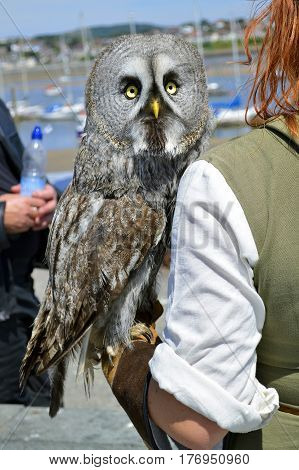 Conwy Wales United Kingdom - June 22 2014 : Falconer with a Great Gray Owl Latin name Strix nebulosa in Wales