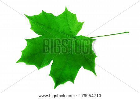 Green lush maple leaf on white. Springtime season maple leaf