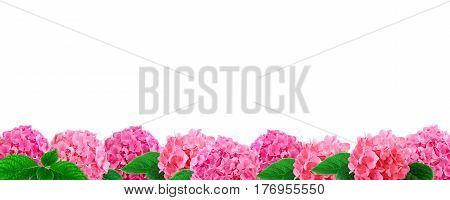 Border of pink hortensia flowers isolated on white background