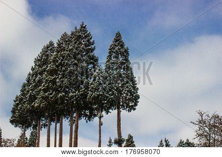 Grove Of Snow Laden Trees In Sierra Nevada