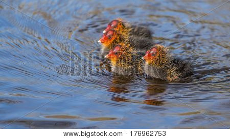 Four newborn coots (fulica atra) swimming together in a group, exploring the pond