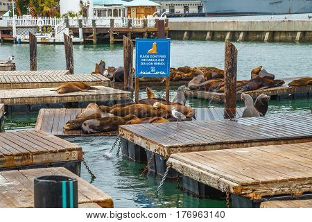 Crowds of sea lions resting at Pier 39 in San Francisco. Pier 39 is popular tourist attraction in San Francisco, California, United States. Travel holidays concept.