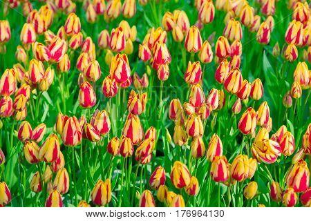 Tulip. Flower field of striped tulips in spring. Striped tulips in the Keukenhof garden, Netherlands. Fresh blooming tulips in the spring garden. Spring landscape. Tulip Flower Field. Black tulips.
