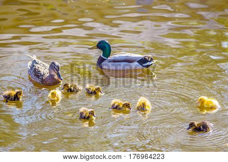Mother and father duck with ducklings swimming on lake surface. Family of wild ducks swims in a pond. Ducklings with mom and dad. Ducks in a pond. Duck with brood of ducklings swim on pond. Ducklings.