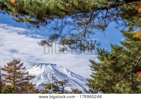 Snow capped mount Fuji at back of pine branches