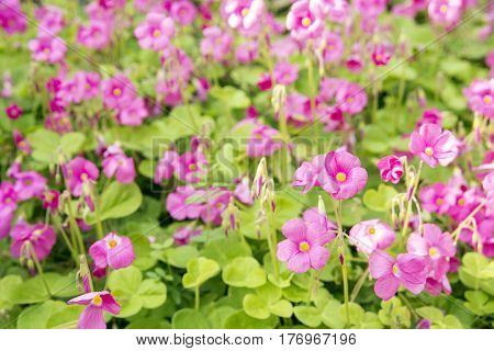Cluster of bright pink jointed woodsorrel flowers