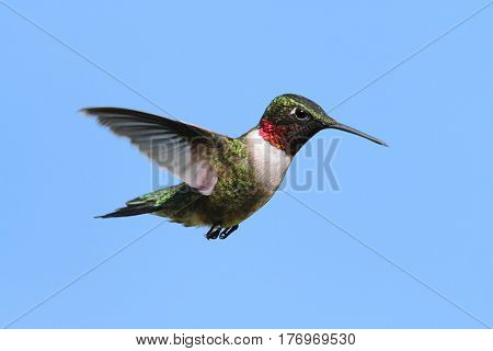 Male Ruby-throated Hummingbird (archilochus colubris) in flight with a blue sky background