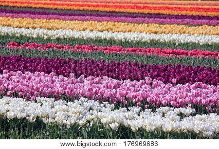 Colorful Tulip Fields in Springtime, Skagit Valley, Washington State