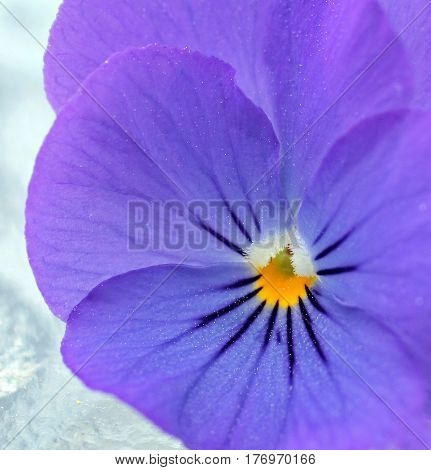 Closeup of a Soft Purple Viola with a Yellow Center