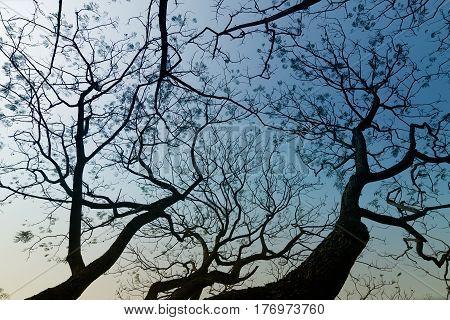 Leafless tree branches of winter season season specific image of nature. Image shot at Kolkata Calcutta West Bengal India