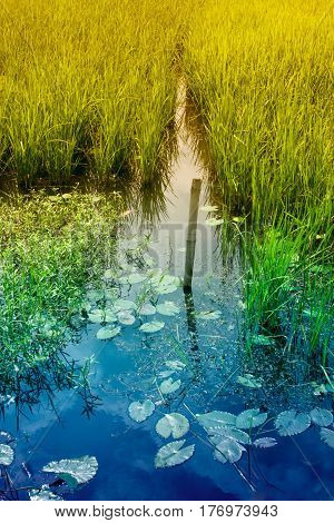 Water reflection of sky and yellow green paddy field rural Bengal at Howrah West Bengal India