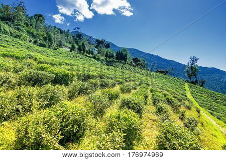 Temi tea garden of Ravangla Sikkim beautiful vast tea planatation on greadully sloping field with mountains and blue sky in the background. It is only tea garden in sikkim and one of the world's best.