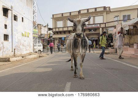 PUSHKAR INDIA-OCT 29 : stray ox on street in Pushkar city on october29 2014 india