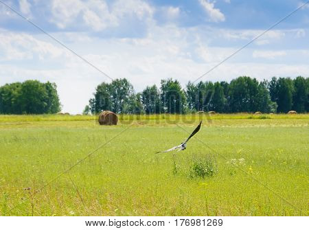 Field with stacks of hay and bird flying on foreground at summer sunny day