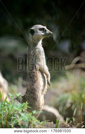 close meerkat standing upright and looking alert