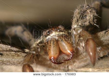 Ground Spider - Ecuador