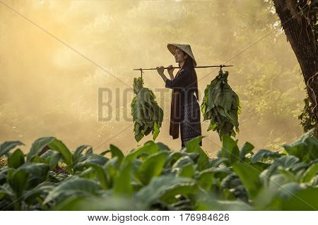 Laos woman tobacco growers in tobacco field