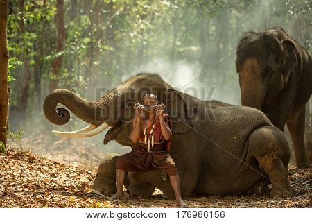 Thailand the mahout are playing the dryer with elephants of Thai culture