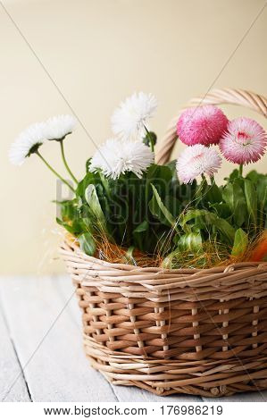 Beautiful spring flowers Bellis perennis in a basket