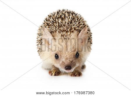 Prickly African hedgehog isolated on a white background