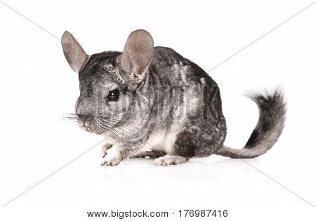 Adorable grey chinchilla isolated on a white background
