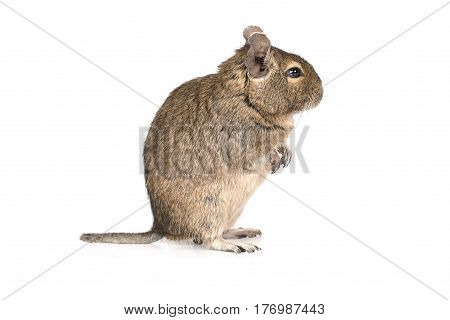 Small degu standing on hind legs isolated on a white background