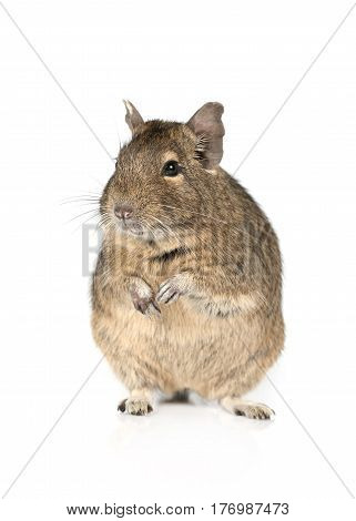 Portrait of a degu standing on hind legs isolated on a white background