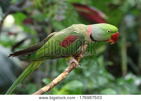 The rose-ringed parakeet (ring-necked parakeet) sitting on a tree branch outdoors
