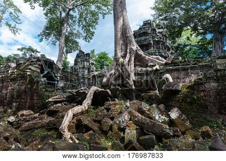 temple ruins of Ta Prohm with giant banyan tree