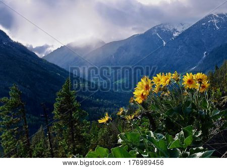 Arnica sunflowers in mountains. Cascade Mountains near Seattle and Leavernworth. Washington State, United States.