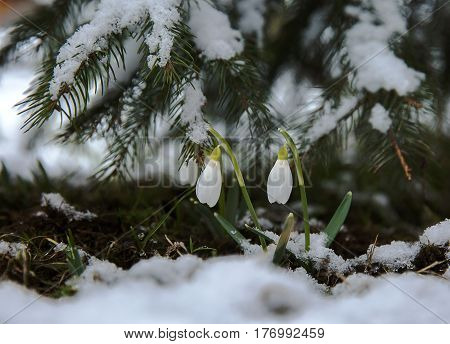 The first snowdrops under snow in March .