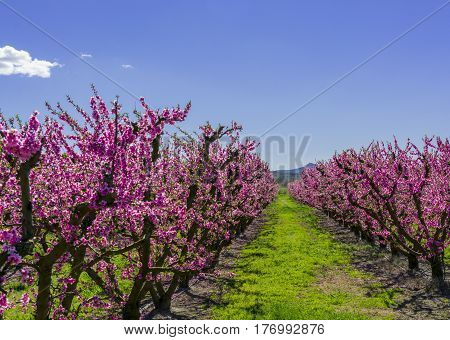 Blossoming peach tree in Aitona a beautiful town in Catalonia Spain. Flowers sprout during the spring and the landscape is transformed. The fields flowered transmit sensations positive and of hope.