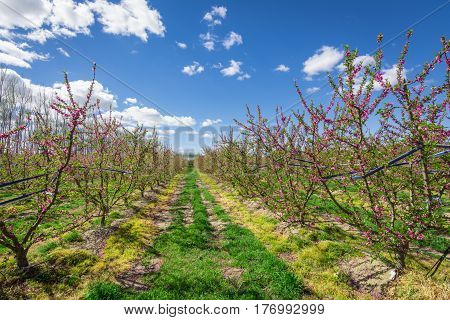 Blossoming peach tree in Aitona, a beautiful town in Catalonia, Spain. Flowers sprout during the spring and the landscape is transformed. The fields flowered transmit sensations positive and of hope.