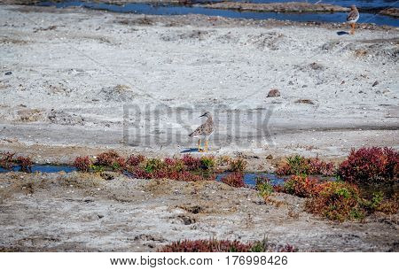 Marshed sea coast with  salty water streams, red Salicornia grass and  ruff bird (Philomachus pugnax) foraging on the ground