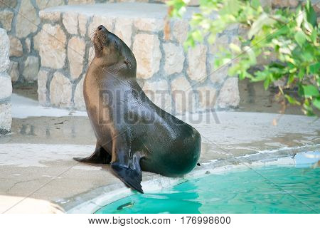 A sea lion relaxing outside just outside a pool