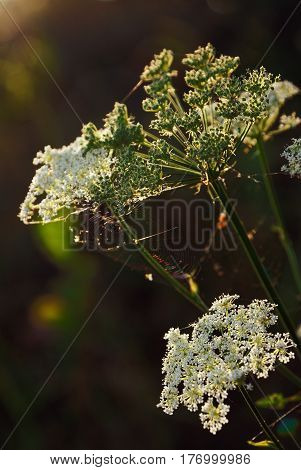 Flowers of a meadow grass and web in the light of the sun