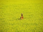 A roe deer standing in a yellow rape/colza field evening time in Sweden. poster