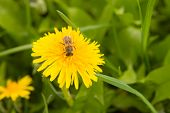 dandelion by springtime and bee poster