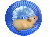 Hamster in a wheel over white background poster