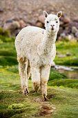 Alpaca, Peru poster