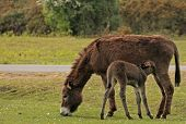 mother donkey with young donkey foal feeding taken in the new forest. poster