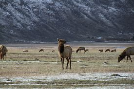 An Elk stands majestically on a snow dusted field at the base of a large mountain.